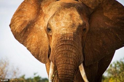 Браконьеры убили одного из самых старых слонов Африки отравленной стрелой