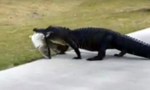 Аллигатор с обедом в зубах прогулялся по полю для гольфа