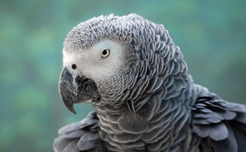 Попугай разболтал жене об измене мужа