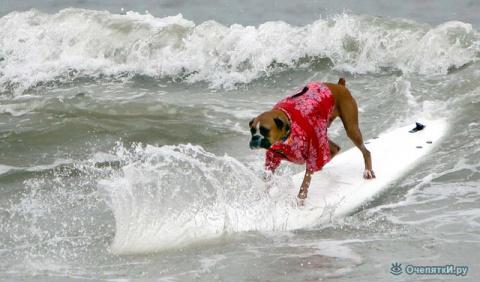 Собачий сёрфинг (15 фото)
