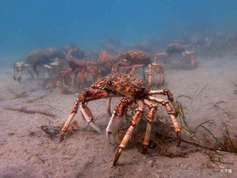 Миграция тысячи крабов-пауков напоминает подводный ужастик