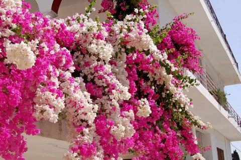 Цветет 9 месяцев в году! Буг…