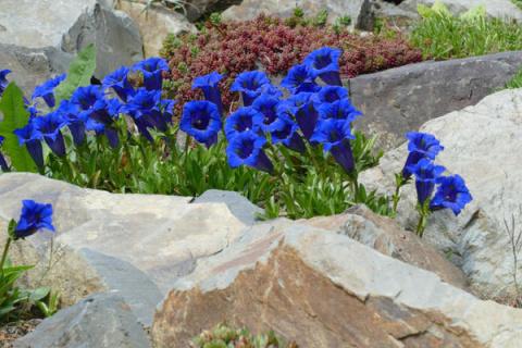 Горечавки - небесные цветы с горным характером