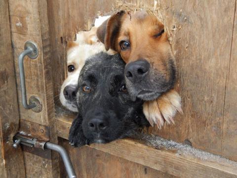 40 отчаянных собак, желающих…
