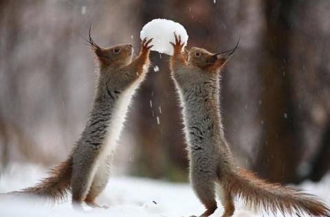 Милая фотосессия играющих белок от фотографа  Вадима Трунова