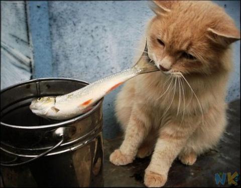 Коты - рыболовы. (смешное видео)