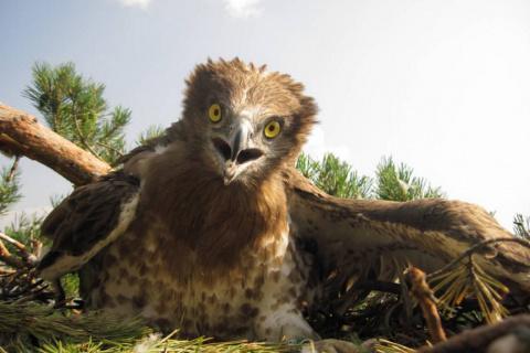 Сенсация: Гнездо краснокнижной птицы змееяда нашли в Нижегородской области