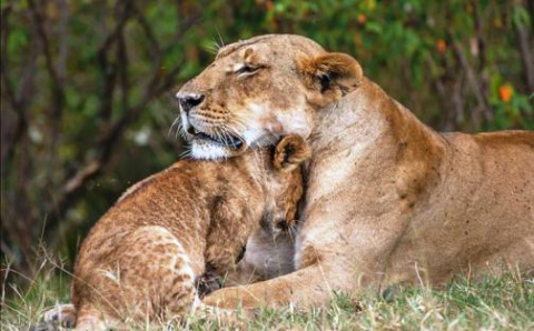 Как львиный прайд спасал львенка — мама кинулась вытаскивать. А остальные советовали. Все, как у людей!