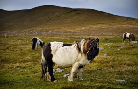 Остров миниатюрных лошадок
