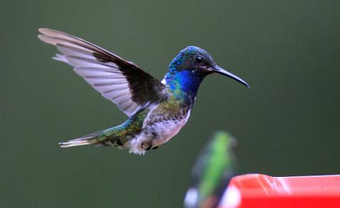 Колибри — птица, способная л…