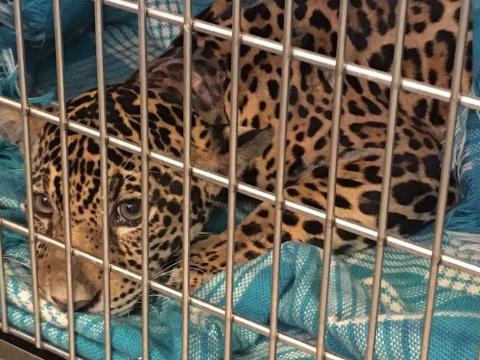 История спасения ягуара, в теле которого было много пуль