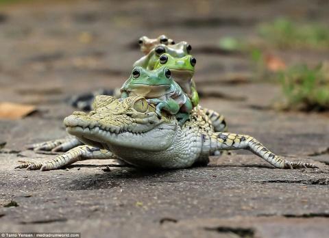 Уникальные фото! Храбрые лягушки решили станцевать на спине у крокодила