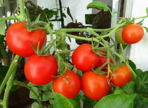 Можно ли сеять помидоры под зиму