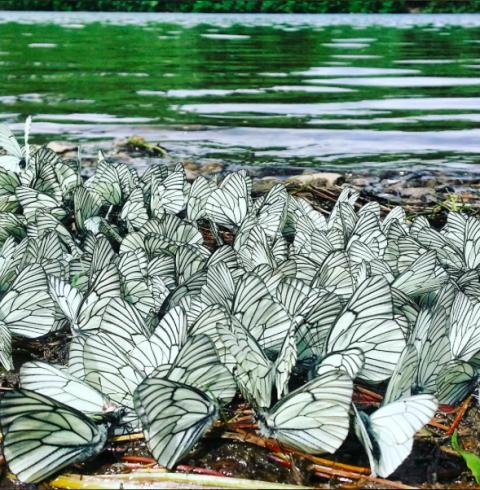 Новосибирск атакуют бабочки