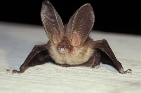 Летучая мышь бурый ушан