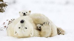 Материнская нежность по-медвежьи
