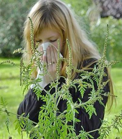 Как бороться с аллергией на амброзию?