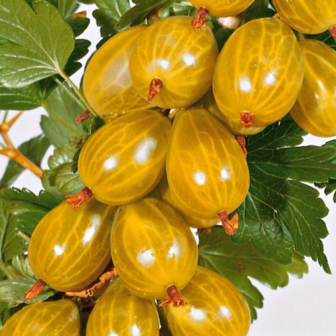 Жёлтый крыжовник Медовый: растим сладкую ягоду в саду