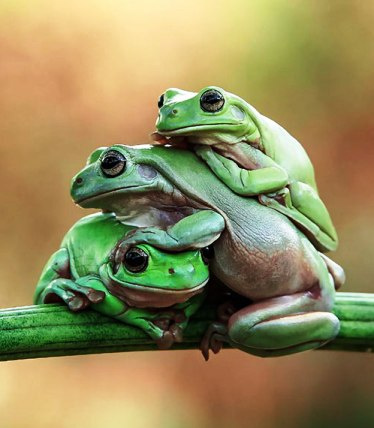 Эти очаровательные лягушки. Ивана-царевича заждались, не иначе...