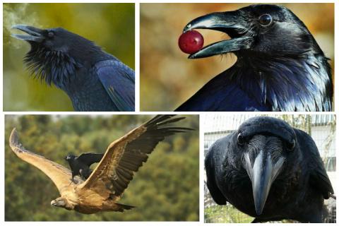 Чёрный ворон, чёрный ворон, что ж ты вьёшься надо мной