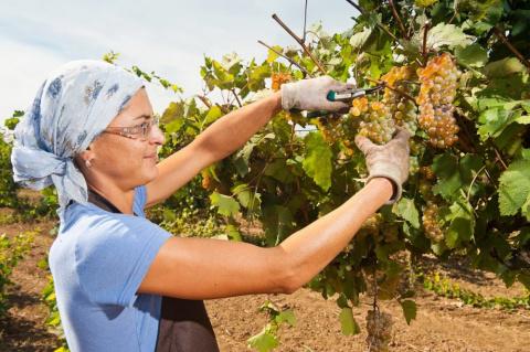 Дельные советы новичку-виноградарю