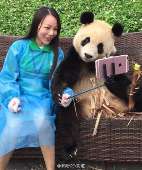 Эта гигантская панда просто обожает делать селфи