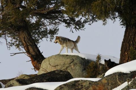 Как волки восстановили естес…