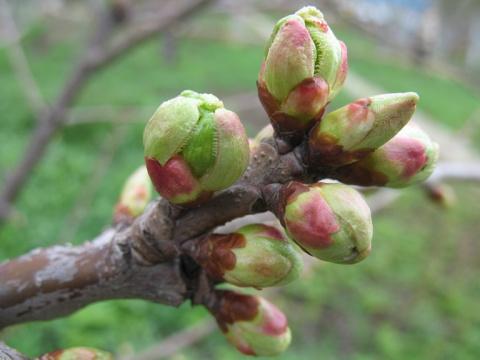 Как увеличить количество плодовых почек на яблоне и груше