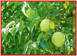 Маклюра – Адамово яблоко