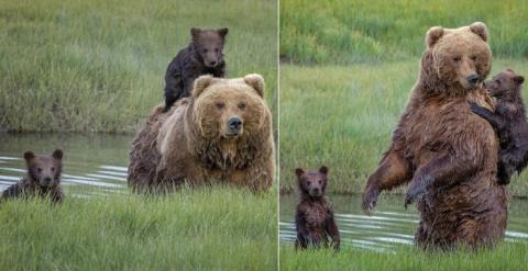 Мама-медведица перевезла мал…