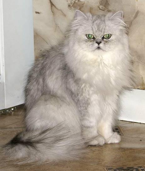 Персидский кот доставал из б…