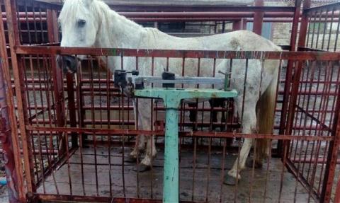 Москвичка спасает от смерти лошадей, отправленных на убой