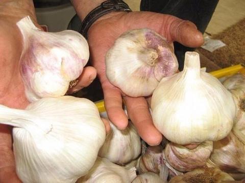 Основные хитрости посадки чеснока на зиму для получения большого урожая
