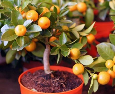 Выращиваем мандариновое дерево дома