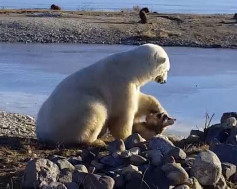 В это видео невозможно поверить! Дикий белый медведь гладит собаку по голове