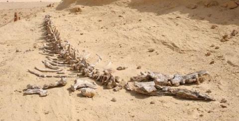 Египетские палеонтологи обнаружили скелет гигантского доисторического кита