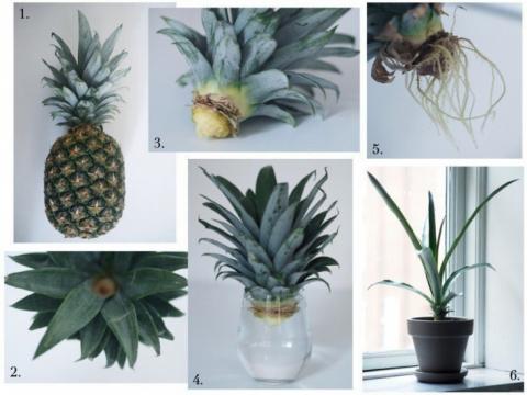 Как вырастить ананас (Diy)