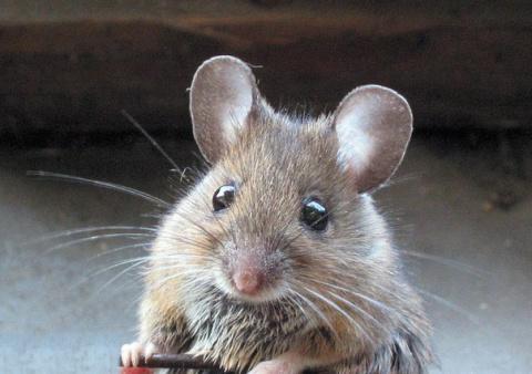 Мыши вполне способны нанести…