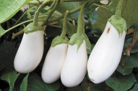 Баклажаны-альбиносы сорта Лебединый: личный опыт