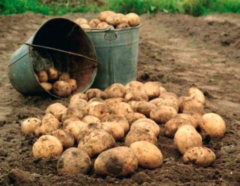 Копание картошки 80-летним с…