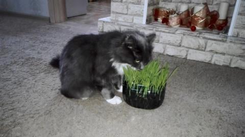 Прикол! Кот Федор ест траву!