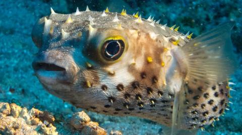 Как рыба фугу помогает «приб…