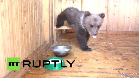 Добрая семья спасла медвежон…