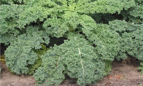 Капуста листовая - необыкновенное растение!