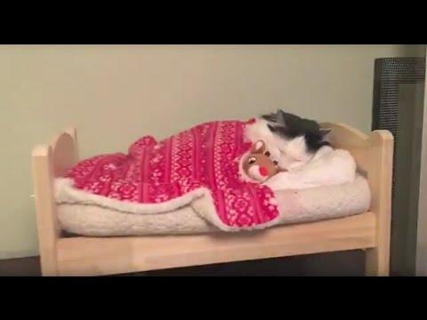 Кошка укладываеться в кровать