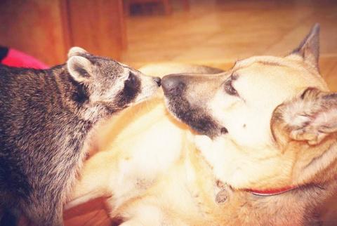 Одноглазый енот ЛЮБИТ каждую новую спасенную собаку.