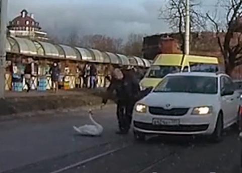 В Калининграде водитель спас раненого лебедя, выбежавшего на оживленную трассу