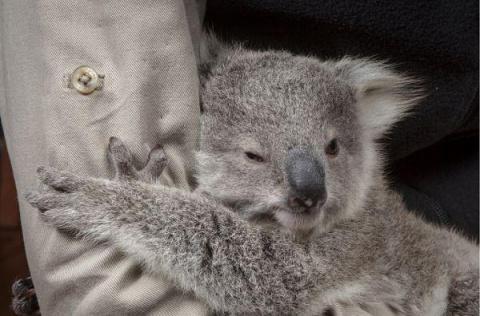 Принесли домой спасенного малыша коалы...