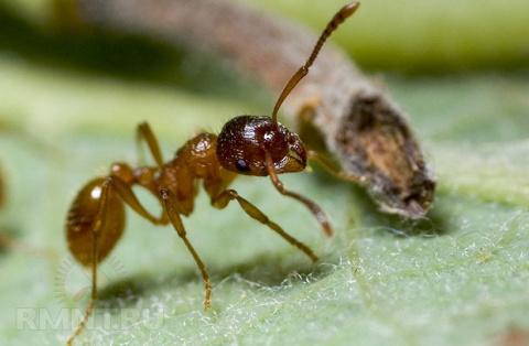 Как избавиться от муравьев н…