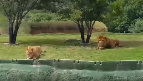 Львица в мексиканском сафари-парке рассмешила туристов